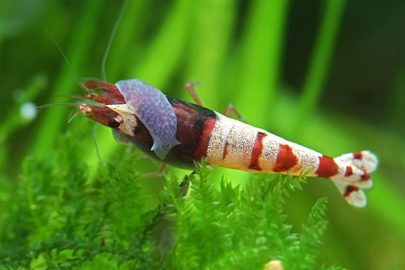 parazit v akvariu condilomul verucilor genitale